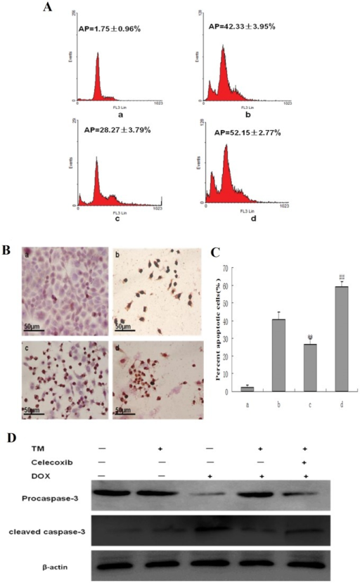 Effect of co-pretreatment with tunicamycin and celecoxib on apoptosis induced by doxorubicin in HepG2 cells.(A) HepG2 cells were pretreated with 3 µmol/L tunicamycin for 8 hr, either in the absence or the presence of celecoxib (50 µmol/L) and then exposed to doxorubicin (2.5 mg/L) for 24 hr. Apoptosis was analyzed as the sub-G1 fraction by fluorescence-activated cell sorting (FACS). a: Untreated HepG2 cells; b: HepG2 cells treated with doxorubicin alone; c: HepG2 cells pretreated with tunicamycin, and then exposed to doxorubicin for 24 hr d:HepG2 cells co-pretreated with tunicamycin and celecoxib, and then exposed to doxorubicin for 24 hr. (B) and(C) Cell morphology and percentage of apoptotic cells was examined by TUNEL staining. a: Untreated HepG2 cells; b: HepG2 cells treated with doxorubicin alone; c: HepG2 cells pretreated with tunicamycin, and then exposed to doxorubicin for 24 hr d: HepG2 cells co-pretreated with tunicamycin and celecoxib, and then exposed to doxorubicin for 24 hr. Data are presented as mean ± SD for the three independent experiments. (**P<0.01 compared with HepG2 cells treated with doxorubicin alone, ##P<0.01 compared with HepG2 cells pretreated with tunicamycin, and then exposed to doxorubicin for 24 hr). (D) Cleaved caspase-3 as an apoptotic marker were measured by western blot using specific anti- caspase-3 antibody. β-actin in the same HepG2 cells extract was used as an internal reference.