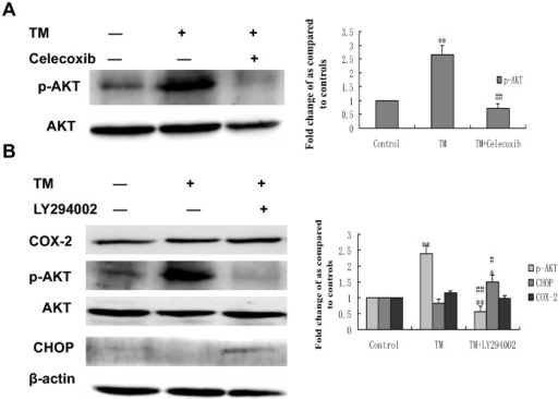 Effect of co-treatment with tunicamycin and celecoxib/LY294002 on the expression of phospho (p)-Akt and CHOP in HepG2 cells.HepG2 cells were treated with 3 µmol/L tunicamycin in either the absence (control) or the presence of celecoxib(A)(50 µmol/L)/LY294002(B) (30 µmol/L) for 8 hr. Equal amounts of cell lysates were subjected to western blot analysis using specific anti-COX-2, anti-p-AKT, anti-AKT and anti-CHOP antibody. β-actin in the same HepG2 cells extract was used as an internal used as an internal reference. Optical density reading values of the specific protein versus the loading control protein β-actin are represented as fold of the control values. (*P<0.05, **P<0.01, compared with untreated HepG2 cells, #P<0.05, ##P<0.01, compared with HepG2 cells treated with tunicamycin alone).