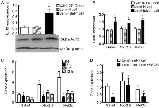 Differences in histone acetylation levels in the untransfected C3H10T1/2 cells, the C3H10T1/2 cells transfected with Lenti-N and the C3H10T1/2 cells transfected with Lenti-Islet-1. (A) Acetylated histone H3 (AcH3) was detected by western blot analysis in the untranstected C3H10T1/2 cells, the C3H10T1/2 cells transfected with Lenti-N and the C3H10T1/2 cells transfected with Lenti-Islet-1. The AcH3 relative amount in the C3H10T1/2 cells transfected with Lenti-Islet-1 was higher than that in the untransfected C3H10T1/2 cells and the C3H10T1/2 cells transfected with Lenti-N (*P<0.05). (B) Chromatin immunoprecipitation (ChIP) and qPCR were performed to reveal the acetylation levels of histone H3 on the cardiac-specific genes, GATA binding protein 4 (Gata4), NK2 homeobox 5 (Nkx2.5) and myocyte enhancer factor 2C (Mef2c), at their peak expression times (2 weeks after transfection). The expression of Gata4, Nkx2.5 and Mef2c combined with AcH3 in the C3H10T1/2 cells transfected with Lenti-Islet-1 was higher than that in the untransfected C3H10T1/2 cells and the C3H10T1/2 cells transfected with Lenti-N (*P<0.05). (C) Gata4, Nkx2.5 and Mef2c expression was found to be reduced 3 h following treatment with 120 μmol/l epigallocatechin gallate (EGCG) (*P<0.05). (D) Gata4, Nkx2.5 and Mef2c expression in the C3H10T1/2 cells transfected with Lenti-Islet-1 and treated with EGCG was lower compared with the cells not treated with EGCG (*P<0.05).