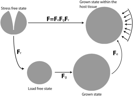 Multiplicative decomposition of the deformation gradient tensor.The stress free state corresponds to an excised tumor having the growth-induced (residual) component of the solid stress released [2], [3]. The load free state corresponds to an excised tumor currying no external loads but holds residual stress, described by Fr. The grown state corresponds to the volumetric growth of the tumor, which is described by Fg and the grown state within the host tissue corresponds to the final configuration of the grown tumor accounting for external stresses (arrows) by the host tissue and described by Fe.