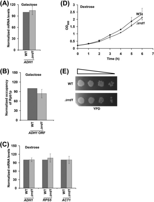 Rrd1p does not regulate transcription of the constitutively active genes. (A) RT-PCR analysis of ADH1 mRNA levels in the wild-type and Δrrd1 strains following continuous growth in YPG. (B) ChIP analysis for the association of RNA polymerase II with the ADH1 coding sequence following continuous growth in YPG. (C) RT-PCR analysis of ADH1, RPS5 and ACT1 mRNA levels in the wild-type and Δrrd1 strains following continuous growth in dextrose-containing growth medium. (D and E) Growth analysis of the wild-type and Δrrd1 strains in both liquid and solid YPD media.