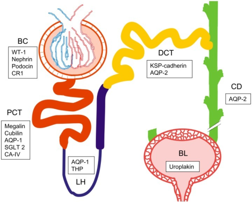 Schematic picture of the urogenital route with one neph open i schematic picture of the urogenital route with one nephron and bladder bowmans capsule bc ccuart Choice Image