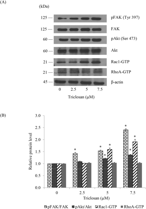 Effects of TCS-mediated EMT on migratory-related proteins.(A) Anoikis resistant H460 cells were treated with TCS at 0–7.5 µM for 24 h in detached condition and then attached on conventional culture dishes for 4 h. The level of pFAK (Tyr 397), FAK, pAkt (Ser 473), Akt, activated Rac1 (Rac1-GTP) and activated RhoA (RhoA-GTP) were determined by western blotting. Blots were reprobed with β-actin to confirm equal loading. (B) The immunoblot signals were quantified by densitometry and mean data from independent experiments were normalized to the results. Values are means of the three triplicate independent samples ± SE. *P<0.05 versus non-treated control.
