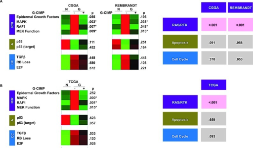 "Differential pathway utilization in G-CIMP+ and G-CIMP- glioblastomas(A) Differing signature expression by G-CIMP status. Left: collapsed gene signature heat maps for the validated gene signatures in normal (N) and G-CIMP-, and G-CIMP+ glioblastomas (""G"") profiled in the CGGA and REMBRANDT data sets. p values are bootstrapped two-tailed t tests between G-CIMP+ and G-CIMP- glioblastomas. Right: Bootstrapped p-values for the combined two-tailed t tests for each signature group. p < 0.05 was boxed in red. G-CIMP status of samples in the CGGA and REMEBRANDT was determined based on PAM classifiers. (B) Validation in the methylation-profiled TCGA data set. Left: collapsed gene signature heat maps for the validated gene signatures in normal (N) and G-CIMP-, and G-CIMP+ glioblastomas (""G"") profiled in the TCGA. Right: Bootstrapped p-values for the combined two-tailed t tests for each signature group. p-value < 0.05 was boxed in red. G-CIMP status in the TCGA dataset is determined using global genomic methylation profiles as described by Noushmehr et al. [6]."