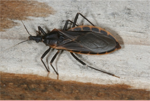 Female Triatoma rubida, a common cause of anaphylaxis in Arizona. (Photograph by Justin Schmidt with permission.)