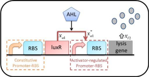 Inducible LuxR-regulated circuit with lysis gene in E. coli. A constitutive promoter continuously produces the activator protein LuxR. The protein LuxR needs to form a complex with the inducer AHL. The LuxR-AHL complex constitutes a quorum sensing mechanism. It activates the downstream promoter and enhances expression of the lysis gene when this complex accumulates.