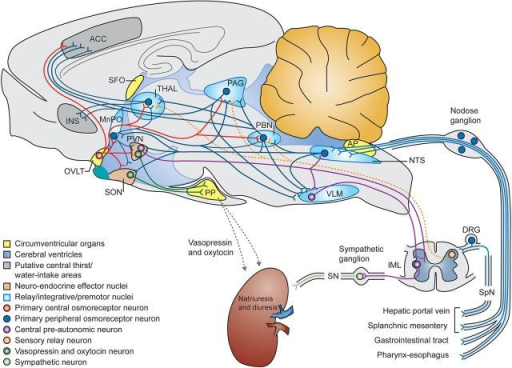 Osmoregulatory circuits in the mammalian brain and the open i osmoregulatory circuits in the mammalian brain and the periphery neurons and pathways are color ccuart Images