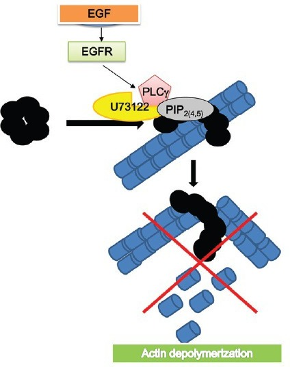 PIP2 and phopholiase C mediate actin modulation: binding of gelsolin to PIP2 causes its inactivation. Activation of PLCγ by the epidermal-grwth-factor-receptor (EGFR) leads to PIP2 hydrolysis and the release of bound gelsolin, which activates and causes F-actin depolymerization.