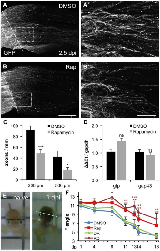 "Compromised axon regeneration and functional recovery upon mTOR inhibition. (A,B) Maximum intensity projections (85 × 0.9 μm confocal z-sections) of wholemount optic nerves from DMSO- (A) and 0.2 μM rapamycin (Rap, B) -treated GAP43::GFP zebrafish at 2.5 days post injury (dpi). The lesion site is indicated with a dashed line, proximal is to the left. Scale bar = 200 μm. (A′,B′) Higher magnifications of the boxed areas in (A) and (B), respectively, using maximum intensity projections of 10 × 0.9 μm confocal stacks. Scale bar = 50 μm. (C) Quantification of axon profiles per mm optic nerve diameter on single z-sections at 200 and 500 μm posterior to the lesion site of DMSO- and rapamycin-treated zebrafish, respectively (for details see ""Materials and Methods"" Section). Data represent means ± SEM of 8 optic nerves from two independent experiments. Treatment effects compared to DMSO control: ***p < 0.001; *p < 0.05 (D) Quantitative real-time PCR for green fluorescent protein (gfp) and growth associated protein 43 (gap43) in relation to glyceraldehyde-3-phosphate dehydrogenase (gapdh) in retinae isolated from zebrafish 2 days post injury that were treated either with vehicle (DMSO) or 0.2 μM rapamycin (Rap), respectively. Data represent mean ΔΔCt ± SEM of at least three different fish per experimental group. ns = non-significant (E) Representative pictures of the swimming position of a naïve zebrafish and a fish 1 day post unilateral right optic nerve crush (1 dpi), respectively. (F) Quantification of the oblique swimming position of DMSO (blue)- and rapamycin (Rap; red)-treated zebrafish at 1, 4, 11, 13, 14 and 18 days post injury (dpi). In addition, some zebrafish received rapamycin-treatment only during the first 3 days of the experiment (RD; brown). Another group was initially held in DMSO (0–3 dpi) and then transferred to rapamycin for the remainder of the experiment (DR; green). Data represent means ± SEM of at least five zebrafish per group. Treatment effects compared to DMSO control: ***p < 0.001; **p < 0.01."