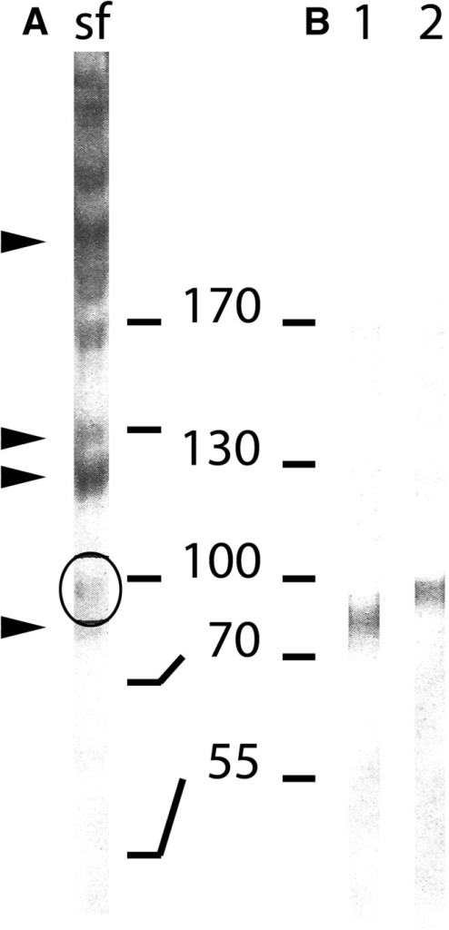 SDS-PAGE and Western blot of isolated flagellar scales from Scherffelia dubia probed with anti-SAP98. (A) Coomassie Brilliant Blue stain of an isolated flagellar scale fraction (sf) run with a 12% SDS-PAGE. Circle, SAP98. The other SAPs for which peptide sequences were obtained are indicated by arrow heads. (B) Western blot of the same flagellar scale fraction probed with a polyclonal anti-SAP98 (8% SDS-PAGE). Lane 1 flagellar scale fraction after deglycosylation with N-Glycosidase F and lane 2 isolated flagellar scale fraction. The position of the prestained marker proteins is indicated in between both PAGE.