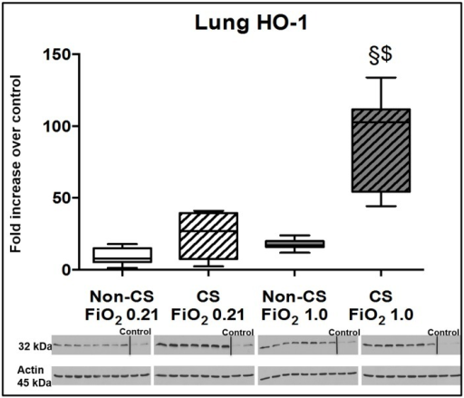 Results of the immune blotting for HO-1.Original western blots and quantitative analysis of lung tissue expression of HO-1 from mice without (open boxplots; n = 8 each) and with (hatched boxplots; n = 7 each) cigarette smoke exposure prior to blunt chest trauma and mechanically ventilated with air (white boxplots) and 100% O2 (grey boxplots) together with two blots each (right part of blot panel) from control animals that did not undergo cigarette smoke exposure, anaesthesia, chest trauma, and surgery. All data are median (quartiles, range) as fold increase over values from control animals; § p < 0.05 vs. corresponding cigarette smoke exposure group, $ p < 0.05 vs. corresponding air ventilation group (Kruskall-Wallis analysis of variance on ranks with post-hoc Dunn's test for multiple comparisons).