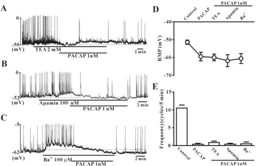 Effects of various K+ channel blockers on pituitary adenylate cyclase-activating peptide (PACAP)-mediated inhibition of pacemaker potentials recorded in cultured interstitial cells of Cajal (ICC) from mouse colon. (A) Tetraethylammonium chloride (TEA, a voltage-dependent K+ channel blocker; 2 mM), (B) apamin (a Ca2+-dependent K+ channel blocker; 100 nM), or (C) Ba2+ (an inward rectifier K+ channel blocker; 100 µM) did not have any effect on pacemaker potentials in colonic ICC. Vertical solid lines show the amplitude of pacemaker potentials and horizontal solid lines show the duration of recording (s) of pacemaker potentials. (D) and (E) summarize the effects of PACAP on pacemaker potentials in colonic ICC with K+ channel blockers. Bars represent the means±SE. *Asterisks indicate a statistically significant difference from controls (p<0.05). Con, control.