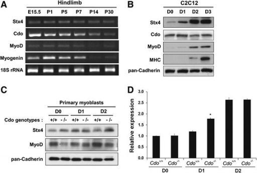 Stx4 is expressed in skeletal muscles and induced in myoblast differentiation. a RT-PCR analysis of hindlimb muscles from E15.5 embryos and P1, P5, P7, P14, and P30 mice for the expression of Stx4, Cdo, MyoD, Myogenin, and 18S rRNA serves as a loading control. b Immunoblot analysis of C2C12 cells from various differentiation days (D) for the expression of Stx4, Cdo, Myogenin, MHC, and pan-Cadherin serves as a loading control. c Immunoblot analysis for Stx4 protein expression in Cdo+/+ and Cdo−/− primary myoblasts during differentiation, and pan-Cadherin serves as a loading control. d qRT-PCR analysis for Stx4 mRNA expression in Cdo+/+ and Cdo−/− primary myoblasts during differentiation