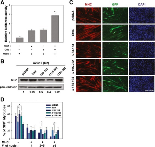 Stx4 and Cdo induce MyoD activities synergistically, and the Cdo-binding deficient Stx4 mutant failed to enhance myotube formation. a 10T1/2 cells were cotransfected with a MyoD-luciferase reporter and the expression vectors for MyoD and β-galactosidase as an internal control. In addition, control, Stx4, and/or Cdo expression vectors were cotransfected as indicated. Forty-eight hours later, the reporter activities were measured and normalized relative to the internal control. The experiment was performed as triplicates and repeated three times with similar results. *p < 0.01. b Lysates of C2C12 cells stably transfected with indicated Stx4 vectors were immunoblotted with antibodies to MHC and pan-Cadherin as a loading control. The relative signal intensities of MHC to pan-Cadherin were quantified and added under the blot. c C2C12 cells were transiently cotransfected with control (pcDNA), Stx4, or Stx4 mutants along with a GFP expression vector to mark the transfectant. Then, cells were induced to differentiate for 2 days, followed by immunostaining with an antibody to MHC and DAPI stain. Size bar = 100 μm. d Quantification of myotube formation of cell lines shown in panel c. Values represent means of triplicate determinations ± 1 SD. The experiment was repeated three times with similar results. Significant difference from control, *p < 0.01, **p < 0.005