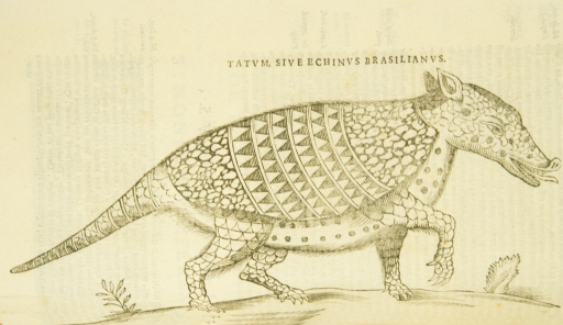 <p>Illustration of an armadillo in profile.</p>