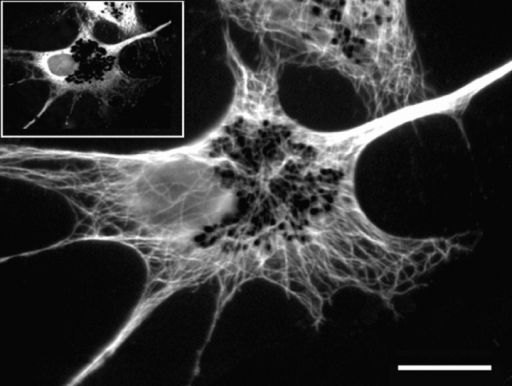 Distribution of microtubules is not affected by expression of headless Xklp3. Immunofluorescence staining with an antitubulin primary antibody followed by a Texas red secondary in  a melanophore overexpressing the headless Xklp3. Microtubules  radiate from the cell center, forming a highly organized polar array. The inset is a fluorescence image taken at the green channel,  showing that the cell in the large picture expresses the EGFP-headless Xklp3 fusion protein. Bar, 20 μm.