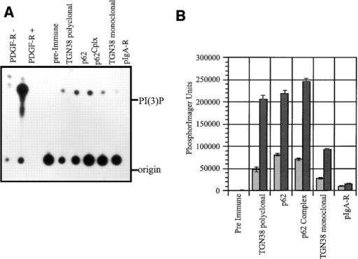 p62 immunoprecipitates have PI3-kinase activity. (A)  PI3-kinase enzymatic assays were carried out on immunoprecipitates as described in Materials and Methods. The autoradiogram  of the TLC plate is shown: lane 1, nonstimulated PDGF receptor;  lane 2, stimulated PDGF receptor; lane 3, preimmune sera to p62;  lane 4, TGN38 polyclonal; lane 5, p62; lane 6, p62cplx; lane 7,  TGN38 monoclonal; and lane 8, pIgA-R. Immunoprecipitates of  stimulated PDGF receptor (i.e., ligand bound) are known to generate PI(3)P and together with the nonstimulated receptor, provide controls for the mobility of PI(3)P on the TLC plate. The  amount of PI(3)P formed by each immunoprecipitate was quantitated by PhosphorImager analysis and the data plotted in B (light  bars). The small GTPase-dependent stimulation of the PI3- kinase activity of the same set of immunoprecipitates was assayed  in the presence of GTPγS (1 μm) (dark bars) and plotted with  the nonstimulated values. The immunoprecipitated antigens are  labeled at the bottom of the bar graph.