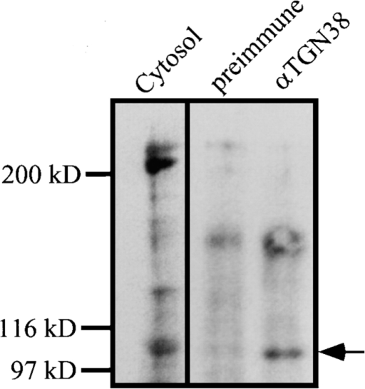 Wortmannin binding  identified a 100-kD protein in the  p62cplx as the PI3-kinase catalytic subunit. Total cytosol (100  μg, cytosol) or immunoprecipitates from SGF using preimmune sera (preimmune), or antibodies against TGN38 (αTGN38)  were incubated with 1 μM wortmannin at 30°C for 10 min and  prepared for SDS-PAGE. The  gels were transferred to nitrocellulose and blotted with affinity-purified antibodies against wortmannin, detected with 125I-protein A and autoradiography. SDS-PAGE molecular weight  markers are shown at the left and the mobility of the 100-kD protein is noted at the right of the panel.
