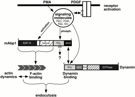 Schematic representation of Abp1 function at the interface of endocytosis and actin cytoskeleton.
