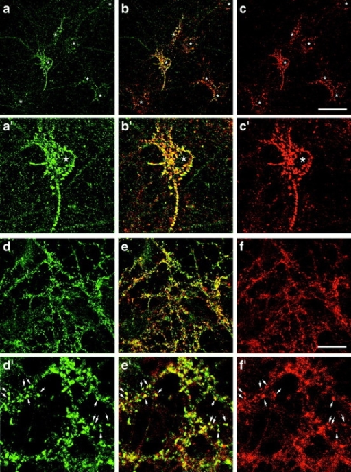 Colocalization of Abp1 and F-actin by confocal immunofluorescence microscopy. Primary hippocampal neurons kept in culture for 9 d displayed Abp1 accumulations in the extended peripheries of cell bodies as well as a cytosolic and neuritic immunostaining (a). F-actin was localized similarly (c), also seen in the merged image (b) and in the enlargements of the central areas of the images (a′–c′). (d–f) Neurons kept in culture for 20 d. At synapses, Abp1 (d) and F-actin (f) colocalize, as seen in the merged image (e) and in the enlargements of an area in the upper center of d–f (d′–f′). Stars in a–c and a′–c′ mark positions of cell bodies and arrows in d′–f′ mark selected examples of actin- and Abp1-rich postsynaptic structures. Bar: (c) 20 μm, (f) 10 μm.