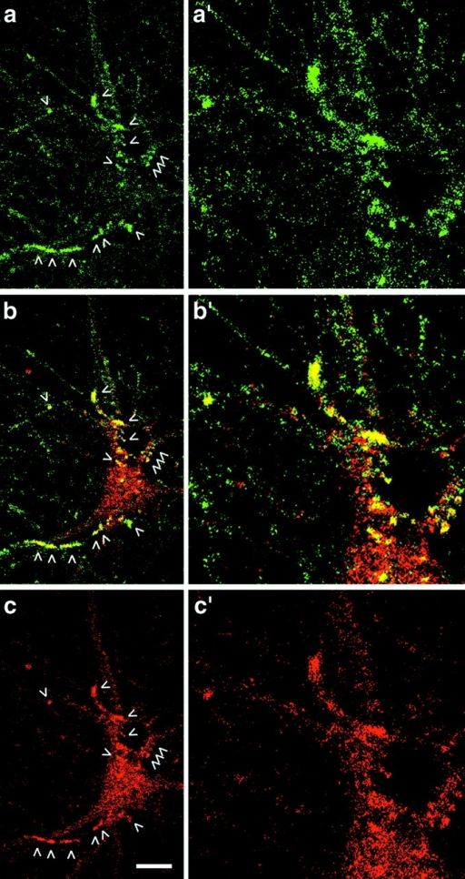 Colocalization of Abp1 (green) and dynamin (red) in primary hippocampal neurons by confocal microscopy. (a and a′) Abp1 strongly accumulated at defined sites in neurons kept in culture for 9 d (arrowheads). (c and c′) Besides cytosolic dynamin, sites of moderate dynamin accumulation proximal to the cell bodies were seen (arrowheads). These sites were immunopositive for Abp1, as seen in the merged images (b and b′). Note that subpools of both proteins did not spatially overlap (see neurites for Abp1 and cytoplasm for dynamin). a′–c′ are 2.5-fold enlargements of the center-right areas in a–c. Bar, 15 μm.