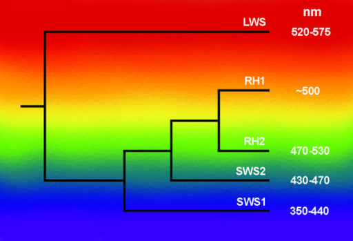 The phylogenetic relationships between the vertebrate visual opsin lineages. A series of four duplication events produced the lws, sws1, sws2 and then rh1 and rh2 genes. The position of each branch on the spectrum portrays the approximate spectral sensitivity of each opsin group. Maximum absorbance value ranges (nm) are based on pigments reconstructed with 11-cis retinal. Values are taken from [45], figure adapted from [3].