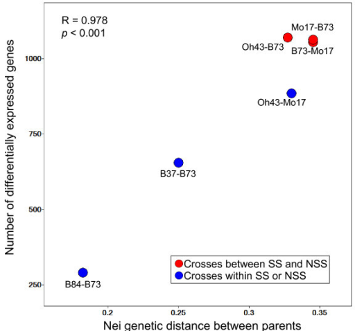 Relationship between parental genetic diversity and differential gene expression. The number of differentially expressed genes identified for each inbred-hybrid group based on stringent statistical criteria is plotted against the genetic distance between parents. Spots representing crosses between stiff stalk (SS) and non-stiff stalk (NSS) groups are shown in red, and spots representing crosses within either group are shown in blue. The Pearson's R correlation value and p-value of the regression are shown.