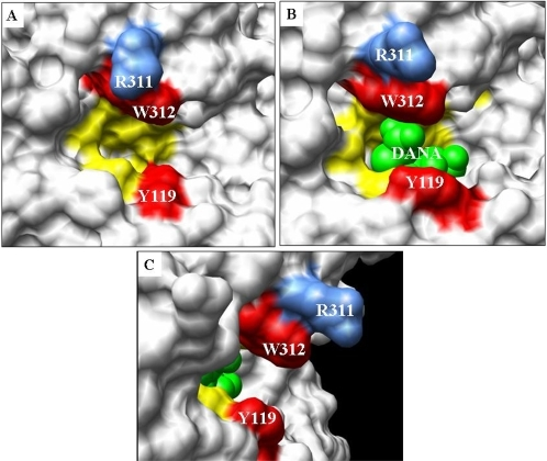The epitope recognized by inhibitory llama antibodies maps to the                            TcTS catalytic site.View of the TcTS active site shown as surface representation using the                            program Chimera. (A) Free TcTS, (B) DANA-TcTS (shows the conformational                            change upon binding of DANA to TcTS) and (C) shows a 90°                            rotation of TcTS-DANA structure highlighting the arginine 311 residue                            protruding from the active site. PDBs used are 1MS4 and 1MS8. Residues                            involved in the catalytic site are colored as follows: mutated residues                            that were analyzed in this work (Trp312 and Tyr119) in red, other                            catalytic amino acids (Arg35, Asp59, Asp96, Met98, Arg314, Arg245,                            Glu230 and Tyr342) in yellow, space-fill model of DANA in green and                            Arg311 in blue.