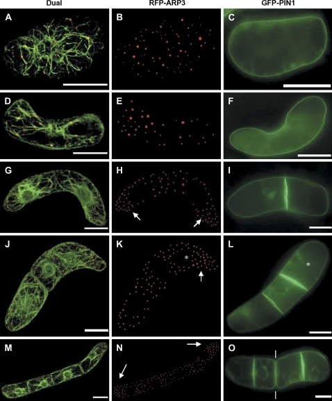 Dynamic redistribution of ARP3 and PIN1 during axial division of BY-2 cells. Dual visualization of actin microfilaments by GFP–FABD2 and RFP–ARP3 (A, D, G, J, M), and the distribution of ARP3 (B, E, H, K, N) and PIN1 (C, F, I, L, O) is shown for the symmetric unicellular (A–C), the asymmetric unicellular (D–F), the bicellular (G–I), the tricellular (J–L), and the quadricellular (M–O) state. Bars=20 μm. The arrows point to the increased density of the ARP3 signal in the distal halves of terminal cells (H, K, N). The asterisks label the 'younger' terminal cell of tricellular files (K, L). The white lines (O) point at the sites of beginning disintegration of the file of beginning disintegration of the file in smaller subsets (bicellular files).