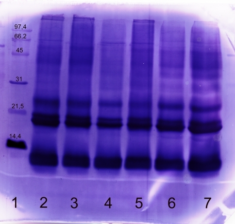 Immunoblot of commercial and self prepared extract with a human serum (RAST-class 5). Commercial and self prepared extracts were separated using SDS-PAGE, blotted and developed with the serum of a farmer. The following marker and samples were applied: lane 1 molecular weight marker, lane 2 commercial extract A, lane 3 commercial extract B, lane 4 commercial extract C, lane 5 commercial extract D, lanes 6, 7 self prepared extract from German Simmental. The following amounts of protein were applied: lanes 2–6: 20 μg, lane 7: 60 μg