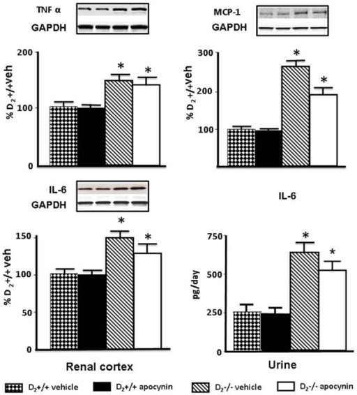 Effect of apocynin on renal cortical expression of TNFα, MCP-1, and IL-6, and urinary excretion of IL-6. Expression of TNFα (25 kDa) and MCP-1 (17 kDa) protein in renal cortex was semi-quantified by immunoblotting. Inset shows one set of immunoblots. Results were corrected for expression of GAPDH and expressed as percentage of D2+/+ mice treated with vehicle, *P<0.05 vs. vehicle or apocynin treated D2+/+; n = 5/group. Renal expression, semi-quantified by immunoblotting (25 kDa), and urinary excretion of IL-6 quantified by ELISA in 24 h urine samples. Results are expressed as percentage of D2+/+ mice treated with vehicle. *P<0.05 vs. vehicle or apocynin treated D2+/+; n = 5/group.