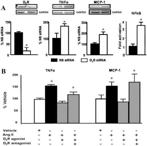 D2R function in moue renal proximal tubule cells A.Effect of silencing of D2R on the expression of pro-inflammatory cytokines/chemokines in mouse RPTCs. Cells were cultured to 60–70% confluence and transfected with non-silencing (NS siRNA) or Drd2 siRNA. After 48 h the cells were washed and lysed. Protein expression of D2R (55 kDa), TNFα (25 kDa), and MCP-1(17 kDa) was semi-quantified by immunoblotting. Inset shows one set of immunoblots. NFkB activation was analyzed via the transient expression of a NFkB-luciferase reporter system by reverse transfection Results are expressed as percentage of NS siRNA or fold activation compared to NS siRNA. *P<0.05 vs. NS (non-silencing) siRNA, n = 4/group. B. Effects of Ang II and D2R stimulation on TNFα and MCP-1 in mouse RPTCs. Cells were serum starved for 2 h before treatment for 24 h in serum-free medium with vehicle (PBS) or 100 nM Ang II, in the presence or absence of 1 μM quinpirole (D2R/D3R agonist) or 1 μM quinpirole plus 1 μM L-741,262 (D2R antagonist). Expression of TNFα (25 kDa) and MCP-1 (17 kDa) protein was semi-quantified by immunoblotting. Inset shows one set of immunoblots. Results were corrected for actin and expressed as % of vehicle. * P<0.05 vs. vehicle; n = 6/group.