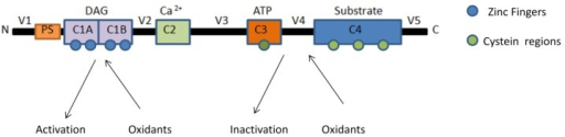 Schematic representation of susceptible sites to oxidation of PKCs.