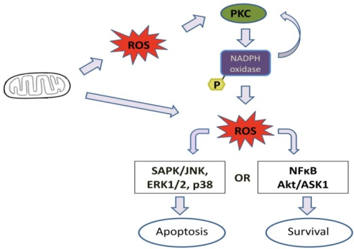 General mechanism of cell signaling activation through mitochondria/PKC/nicotinamide adenine dinucleotide phosphate (NADPH) oxidase. In pathological conditions, a mitochondrial dysfunction could lead to an increase in reactive oxygen species (ROS) generation. ROS can directly trigger cell signaling or activate different PKC isoforms, depending on cell type and stimulation. Activated PKC stimulates NADPH oxidase, which generates ROS. These ROS could activate another group or the same group of PKCs in a feedback mechanism or induce cell signaling. Depending on the stimulus, it could lead to cell survival or death.