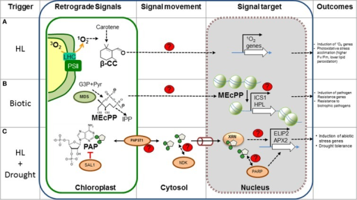 "New metabolic retrograde signaling pathways. The different components of recently discovered plant retrograde signaling pathways are shown. (A) β-CC is most likely produced by oxidation of carotenes by 1O2 in the chloroplast and could diffuse through the membrane into the cytosol. Feeding β-CC results in the up-regulation of genes involved in stress responses, particularly those triggered by 1O2. It is speculated that the electrophilic carbonyl group could react with electron donors, such as sulfhydryl groups; however, the actual targets and mode of action are unknown. (B) MEcPP, an intermediary of isoprenoid precursors, is produced by MDS in the plastidic MEP pathway. MEcPP over accumulating mutants present high levels of SA and are resistant to biotrophic pathogens. MEcPP regulates the expression of the HPL and ICS1 gene, with concomitant production of SA. Although the transport and action mechanism are unknown, MEcPP could promote chromatin reorganization and induction of transcription of target genes. (C) PAP levels are catabolically regulated by SAL1 in the chloroplast and PAP transport is probably mediated by PAPST1. Cytosolic PAP could diffuse to the nucleus via the pores (cylinder) where it inhibits nuclear XRNs and affects gene regulation of stress inducible genes (i.e., APX2 and ELIP2). This mechanism is thought to play a role during drought, as PAP levels increase 30-fold. Other potential PAP targets (Nucleotide diphosphate kinase, NDK, and poly (ADP-ribose) polymerase, PARP, proteins) may mediate other aspects of signaling. The control mechanism of gene regulation by the XRNs proteins is a matter of investigation. Red lines, inhibition; black arrows, induction or activation; proteins involved in the signaling are indicated as ovals. Unknown components, processes or targets are indicated with red ""?"" or with dashed arrows. β-CC, β-cyclocitral; MEP, Methylerythritol phosphate pathway; MEcPP, methylerythritol cyclodiphosphate; MDS, MEcPP synthase; IPP, isopentenyl diphosphate; G3P, glyceraldehyde 3-phosphate; SA, salicylic acid; HL, high light. Figure adapted from Xiao et al. (2012) and Estavillo et al. (2011)."
