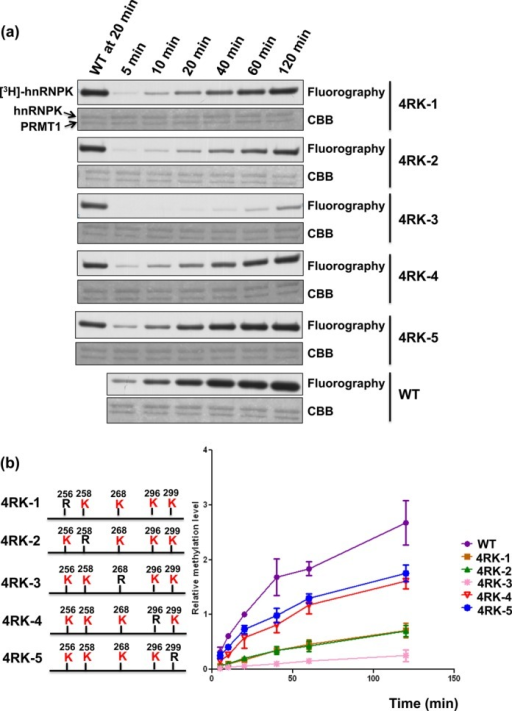 Kinetics analysis of PRMT-mediated methylation of hnRNPK and its 4RK mutants. (a) Detection and quantification of PRMT1-mediated methylation of hnRNPK and diverse 4RK mutants over 120 min. HnRNPKs were incubated with GST-PRMT1 in the presence of [3H] S-adenosylmethionine (SAM), followed by SDS-PAGE. Proteins were stained with Coomassie blue (bottom). Methylation was detected through fluorography (top) and quantified using a liquid scintillation counter. (b) The methylation levels of all mutants relative to WT hnRNPK at the indicated times were determined and are shown as a stacked line chart.