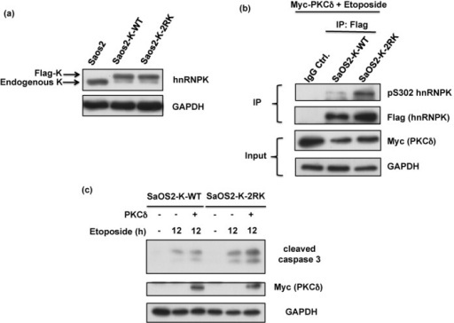Blockage of Arg296 and Arg299 methylation in hnRNPK promotes apoptosis in a p53-independent manner. (a) SaOS-2 cells were simultaneously infected with lentivirus carrying shRNA against endogenous hnRNPK and lentivirus carrying shRNA-resistant WT or 2RK mutant hnRNPKs. The efficiency of knockdown and ectopic expression was determined after measuring the protein levels of endogenous and exogenous hnRNPKs using hnRNPK and GAPDH antibodies. (b) The SaOS2-K-WT and SaOS2-K-2RK (R296K/R299K) cells were transfected with Myc-PKCδ for 24 h and subsequently treated with etoposide for 12 h. The cell lysates were collected and analyzed for Myc-PKCδ, GAPDH and cleaved caspase 3 expression levels using specific antibodies.