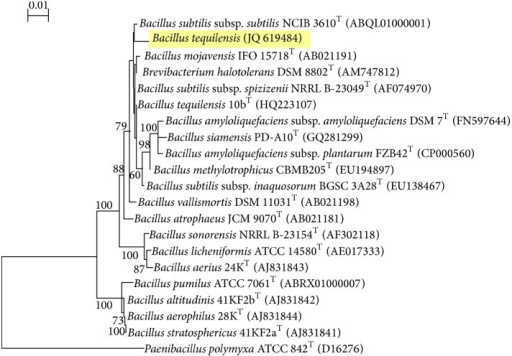 Phylogenetic tree showing relation between strain RG-01 and other Bacillus strains.