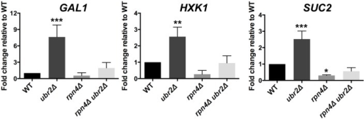 Cells with increased proteasome abundance exhibit features indicative of prematurely activated Snf1/AMP kinase signaling.The mRNA levels of the glucose repressed genes GAL1, HXK1 and SUC2 were tested via quantitative RT-PCR. mRNA was prepared after cells were grown in galactose for 4 h in WT, rpn4Δ, ubr2Δ, or rpn4Δ ubr2Δ cells. The data were corrected for the housekeeping gene ACT1 and presented relative to WT expression as the mean +/- SEM of three biological replicates. P-values represent the statistical significance relative to WT expression and were assessed by an Ordinary one-way Annova using the GraphPad Prism software. P-values: * p < 0.05, ** p < 0.01, *** p < 0.001.