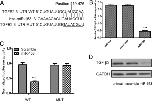 TGF-β2 was a direct target of miR-153 in osteosarcoma cells.(A) Computer prediction of miR-153 binding sites in the 3'UTR of human TGF-β2 gene. (B) Expression of TGF-β2 mRNA was examined by qRT-PCR in MG-63 cells transfected with miR-153 mimic or the scramble mimics or no treat. The expression of TGF-β2 was normalized to GAPDH. (C) MG-63cells were co-transfected with miR-153 and WT or MUT 3'UTR of TGF-β2. (D) Protein level was detected by Western blotting in MG-63 cells transfected with miR-153 mimic or the scramble mimics or no treat. GAPDH was also detected as a loading control. ***p<0.001.