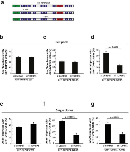 BRCT 5 of TOPBP1 mediates its recruitment to UFBs(a) Schematic representation of GFP-TOPBP1 mutant constructs used in this study (WT TOPBP1, BRCT1 - K154A; BRCT5 - K704A). (b, c and d) Quantification of GFP-TOPBP1 WT, K154A and K704A mutant localisation to UFBs in pools of U2OS cells stably expressing GFP-TOPBP1 WT or mutant proteins (endogenous TOPBP1 was knocked down using siRNA directed against the 3′ UTR (si TOPBP1), scrambled pool siRNA was used as a control (si Control)). Mean from three independent experiments is depicted with bars representing +/− s.e.m. At least 50 ana/telophase cells were scored per experiment and the Chi-square test was used to determine statistical significance. (e, f and g) Analysis of localisation of GFP-TOPBP1 WT, K704A and K704E mutant localisation to UFBs in single U2OS clones expressing GFP-TOPBP1 WT or mutant proteins (endogenous TOPBP1 was depleted using siRNA directed against the 3′ UTR (si TOPBP1), scrambled pool siRNA was used as a control (si Control)). Mean from three independent experiments is depicted with bars representing +/− s.e.m. At least 50 ana/telophase cells were scored per experiment and the Chi-square test was used to determine statistical significance.