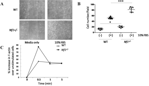 Migration and actin polymerization were significantly enhanced in Nf1+/− MSPCs. (A) Wound healing assays were performed by incubating WT and Nf1+/− MSPCs in 10 µg/mL of mitomycin C for one hour, after which a linear wound (marked by the white dotted lines) was created as shown. Wound healing was allowed to proceed in fresh media for 24 h, (original magnification ×200); (B) The number of cells migrating into the wound field were quantified, revealing an increased migration in Nf1+/− MSPCs compared with WT MSPCs (F = 75.76, Df = 1, *** p < 0.001; *** p < 0.001 for Nf1+/− MSPCs vs. WT MSPCs in the presence of 10% FBS, * p < 0.05 for untreated Nf1+/− MSPCs vs. untreated WT MSPCs). Data are represented as mean ± SD from duplicate wells from three independent experiments, each experiment was performed with different MSPCs culture isolated from individual mice; (C) Actin polymerization was measured following 2 h starvation and subsequent treatment with 10% FBS for different time periods. Flow cytometry analysis was performed following 400 nM FITC-phalloidin staining. An increased F-actin content was observed in Nf1+/− MSPCs comparison to WT MSPCs. A representative result of one of three independent experiments is shown; each experiment was performed with different MSPCs culture isolated from individual mice.