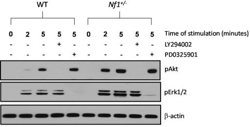 Nf1+/− MSPCs exhibit increased Akt (also known as protein kinase B) and extracellular-signal-regulated protein kinase (Erk)1/2 phosphorylation, which can be inhibited by LY294002 and PD0325901, respectively. Phosphorylation of Akt and Erk1/2 was determined by Western blot in WT and Nf1+/− MSPCs following 10% FBS stimulation in the presence or absence of PI3-K inhibitor, LY294002, or MAPK inhibitor, PD0325901. Data represents one of three independent experiments, and each experiment was performed with different MSPCs culture isolated from individual mice.