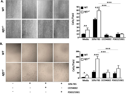 Migration and adhesion of Nf1+/− MSPCs was mediated by mitogen activated protein kinase (MAPK) and phosphoinositide 3-kinase (PI3-K) pathways. (A) Representative high power fields (20× objective lens) of wound healing assays for WT and Nf1+/− MSPCs cultured with serum free media or 10% FBS in the presence or absence of either LY294002 or PD0325901. Nf1+/− MSPCs have enhanced migration in comparison to WT in serum free or 10% FBS supplemented media, which was significantly decreased by LY294002 and PD0325901 (** p < 0.01 for Nf1+/− MSPCs vs. WT MSPCs cultured in media; *** p < 0.001 for 10% FBS treated Nf1+/− MSPCs vs. 10% FBS treated WT MSPCs; *** p < 0.001 for LY294002 or PD0325901 treated and untreated Nf1+/− MSPCs in the presence of 10% FBS); (B) Representative high power fields (20× objective lens) from CH296 adhesion assays for WT and Nf1+/− MSPCs performed in serum free or 10% FBS supplemented media in the presence or absence of LY294002 or PD0325901. The adhesion of Nf1+/− MSPCs was significantly increased in comparison to WT MSPCs in either serum free or 10% FBS supplemented media. Adhesions were significantly reduced in the presence of LY294002 and PD0325901 (* p < 0.05 for Nf1+/−vs. WT MSPCs in serum free media; *** p < 0.001 for Nf1+/−vs. WT MSPCs in 10% FBS supplemented media; *** p < 0.001 for LY294002 or PD0325901 treated and untreated Nf1+/− MSPCs in the presence of 10% FBS). Data are represented as mean ± SD from three individual experiments, and each experiment was performed with different MSPCs culture isolated from individual mice.