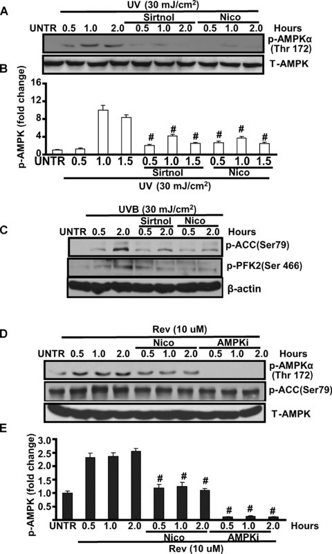 SIRT1 positively regulates AMPK activation in cultured skin keratinocytes. HaCaT cells were pre-treated with sirtinol (2 mM) or nicotinamide (Nico, 10 mM) for 1 hr, followed by 20 mJ/cm2 of UV for indicated time, p-AMPK (Thr 172) and total-AMPK activation were detected by Western blot (A and B). HaCaT cells were pre-treated with sirtinol (2 mM) or nicotinamide (Nico, 10 mM) for 1 hr, followed by 20 mJ/cm2 of UV and incubated for 0.5 and 2.0 hrs, p-ACC (Ser 79), p-PFK-2 (Ser 466) and β-actin were detected by Western blot (C), p-ACC was quantified in (D). HaCaT cells were treated with nicotinamide (Nico, 10 mM) or AMPK inhibitor Compound C (AMPKi, 10 μM) for 0.5, 2.0 hrs, followed by resveratrol (Rev, 10 μM) treatment for 0.5, 1.0 and 2.0 hrs, p-AMPK (Thr 172), p-ACC (Ser 79) and T-AMPK were detected by Western blot (E and F). The data in figures represent mean ± S.E. of three independent experiments. The symbol '#' means P < 0.05 with UV- or H2O2-treated group.