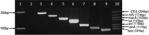 Development of the new heptaplex PCR showing the amplification of single and multiple DNA markers. Lane 1: 100 bp DNA Marker (New England Biolabs, NEB, UK) with upper band [200 bp] and lower band [100 bp], Lane 2: PCR negative control [Candida albicans], Lane 3: coagulase-negative staphylococcus marker [cns, 204 bp], Lane 4: bacterial 16S rRNA marker [16S, 174 bp], Lane 5: mecA marker [mecA, 155 bp], Lane 6: staphylococcus genus translation elongation factor marker [tuf, 143 bp], Lane 7: Panton-Valentine leukocidin marker [pvl, 118 bp], Lane 8: Vancomycin resistance marker [vanA, 111 bp], Lane 9: staphylococcal protein A marker [spa, 101 bp], Lane 10: Heptaplex PCR showing all seven markers (cns, 16S, mecA, tuf, pvl, vanA and spa) from top to bottom respectively
