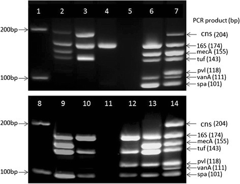 Validation of the new heptaplex PCR assay. Lanes 1 and 8: 100 bp DNA ladder (NEB, UK); Lane 2: MRCoNS strain S. epidermidis NRS8 showing the markers cns, 16S, mecA, and tuf; Lane 3: Nottingham local MSCoNS showing the markers cns, 16S, and tuf; Lane 4: Group A Streptococcus showing only the 16S marker for bacterial 16SrRNA gene; Lanes 5 and 11: PCR negative control (Candida albicans); Lane 6: VRSA strain VRS1 showing the markers 16S, mecA, tuf, vanA, and spa; Lanes 7 and 14: mixed template comprising vancomycin-resistant S. aureus strain VRS1, methicillin susceptible CoNS strain S. lugdunensis NCTC12217 and PVL-positive MSSA strain NRS157 and showing all the seven markers (cns, 16S, mecA, tuf, pvl, vanA, and spa); Lane 9: PVL-negative MRSA strain Sanger252 showing the markers 16S, mecA, tuf, and spa; Lane 10: PVL-negative MSSA strain Sanger476 showing the markers 16S, tuf, and spa; Lane 12: PVL-positive MSSA strain NRS157 showing the markers 16S, tuf, pvl, and spa; Lane13: PVL-positive S. aureus strain USA400 (MW2) showing the markers 16S, mecA, tuf, pvl, and spa