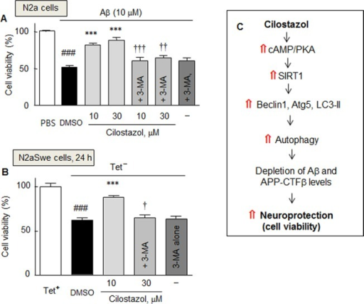Effect of cilostazol on Aβ-induced cytotoxicity.Decrease in cell viability in response to exogenous Aβ1–42 in N2a cells (A) and to endogenously overproduced Aβ in the N2aSwe cells (B), and the recovery by cilostazol in the absence and presence of 3-methyladenine (3-MA, 2.5 mM). Results are the means ± SDs of three experiments. ###P < 0.001 vs. PBS (A) and Tet- condition (B); ***P < 0.001 vs. DMSO; †P < 0.05, ††P < 0.01, †††P < 0.001 vs. 10 or 30 μM cilostazol alone. PBS, phosphate-buffered saline. C. Hypothetical model: Neuroprotective effect of cilostazol against Aβ-induced neurotoxicity is ascribable to the increased induction of autophagy by increasing the cAMP/PKA coupled SIRT1 activation, thereby enhances Aβ and CTFβclearance and increases cell viability.