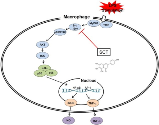 Schematic diagram of the inhibitory action of SCT on LPS-induced inflammatory responses in macrophage cells.