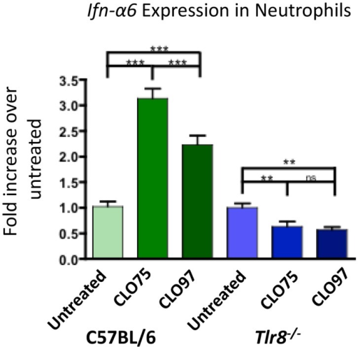 TLR8 agonist induces increased Ifn-α6 expression in neutrophils. Neutrophils were purified from whole bone marrow cell suspensions from the indicated mice by cell sorting as in Figure 2B. Neutrophils were cultured for 16 h in the presence of the TLR8 agonist CLO75 (1 mg/mL) or the TLR7 agonist CLO97 (1 mg/mL). RNA was extracted from the cell culture, converted to cDNA, and Ifn-α6 transcript level was measured by RT-qPCR. Expression was normalized to β-actin and compared to untreated samples from each genotype. Shown is the average ± SEM fold-increase in Ifn-α6 expression in two mice per group tested in independent experiments, each done in triplicate.